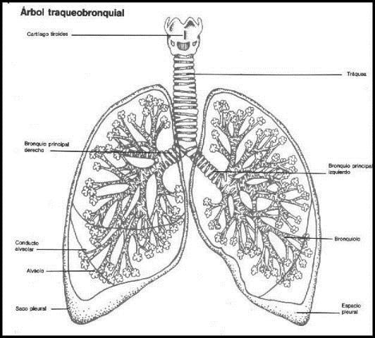 Tipos de Respiración | Biología | Estudioteca